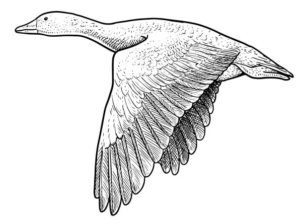 Wild geese illustration, drawing, engraving, ink, line art, vector Illustration, what made by ink and pencil on paper, then it was digitalized. goose bird stock illustrations