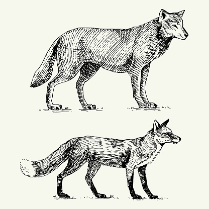 wild grey wolf and red fox engraved hand drawn in old sketch style, vintage animals
