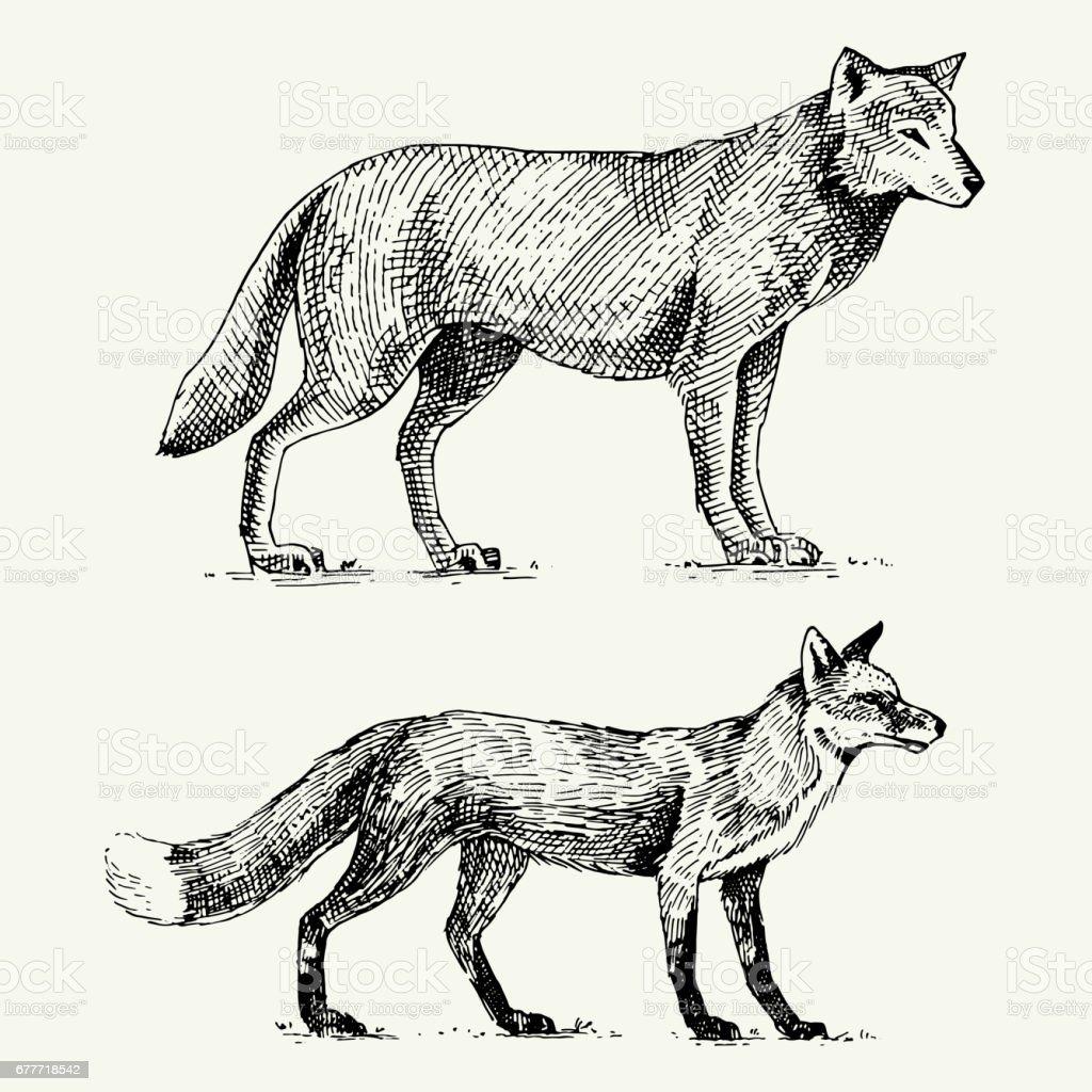lobo gris salvaje y zorro rojo grabado dibujado en estilo antiguo esbozo, animales vintage a mano - ilustración de arte vectorial