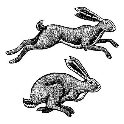 Wild hares. Rabbits are jumping. Forest bunny or coney. Hand drawn engraved old sketch for T-shirt, tattoo or label or poster. Vector illustration