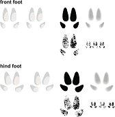 Wild pig footprints