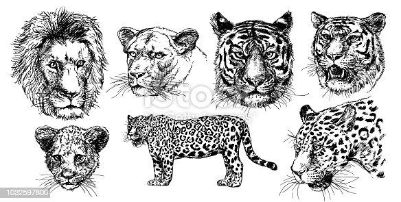 Vector drawings sketches wild predators , tigers, lions, leopards.