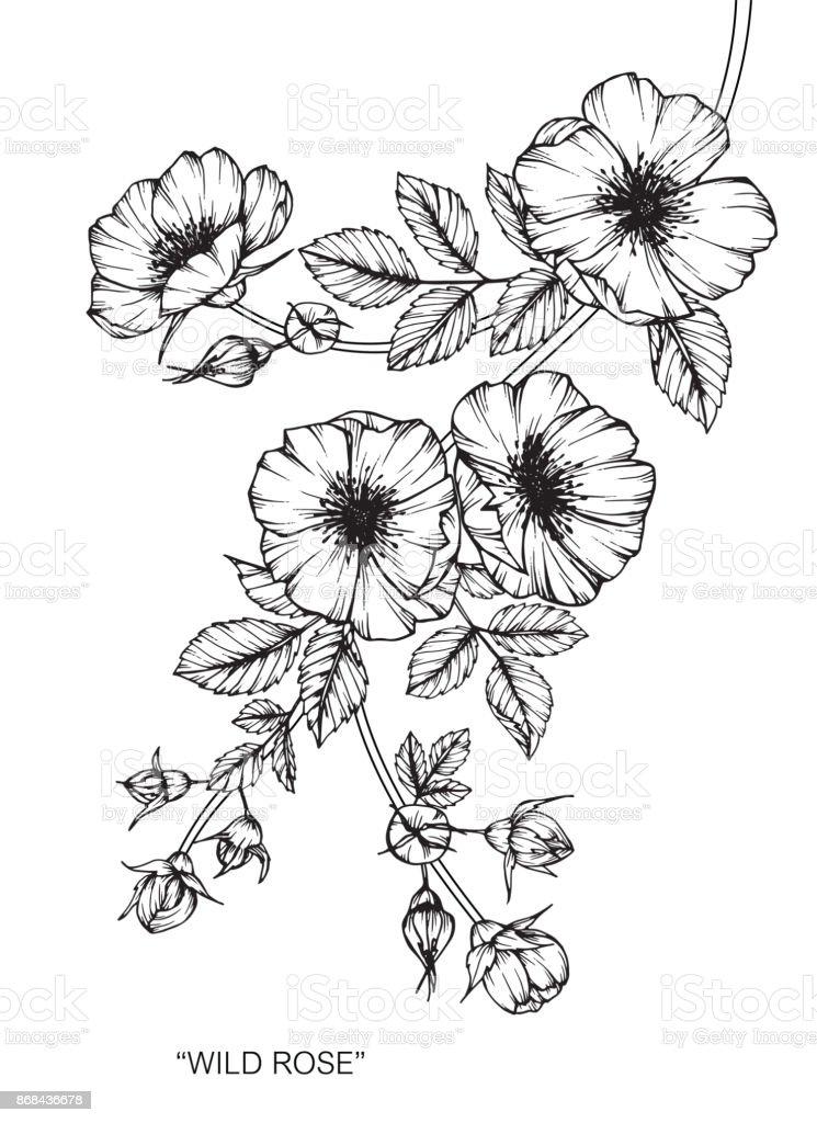 Fleur Rose Sauvage De Dessin Cliparts Vectoriels Et Plus D Images