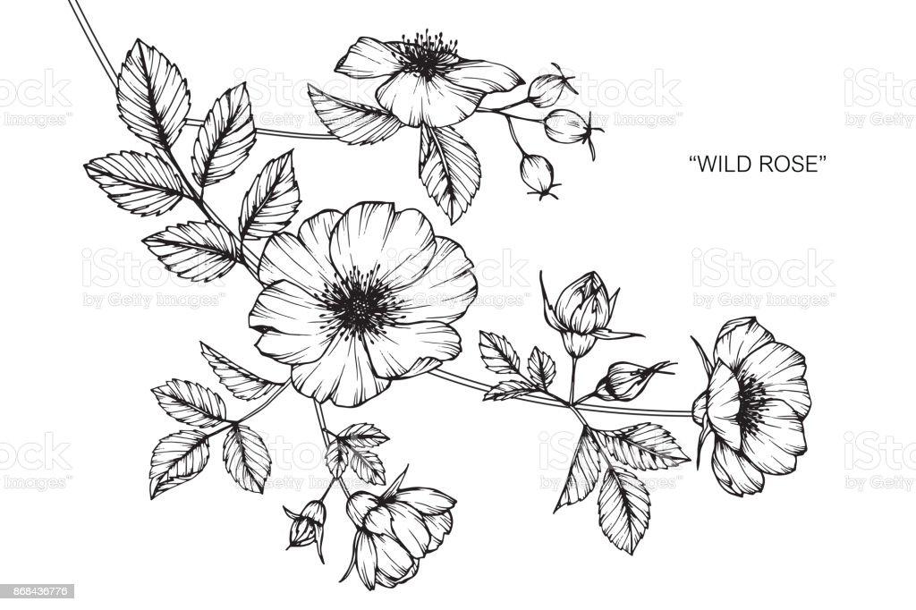 wild rose blume zeichnen stock vektor art und mehr bilder. Black Bedroom Furniture Sets. Home Design Ideas