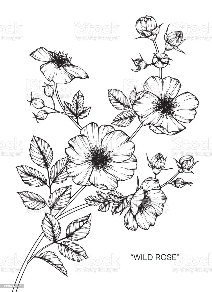 Fleur rose sauvage de dessin cliparts vectoriels et plus d 39 images de arbre en fleurs 868437026 - Fleur rose dessin ...