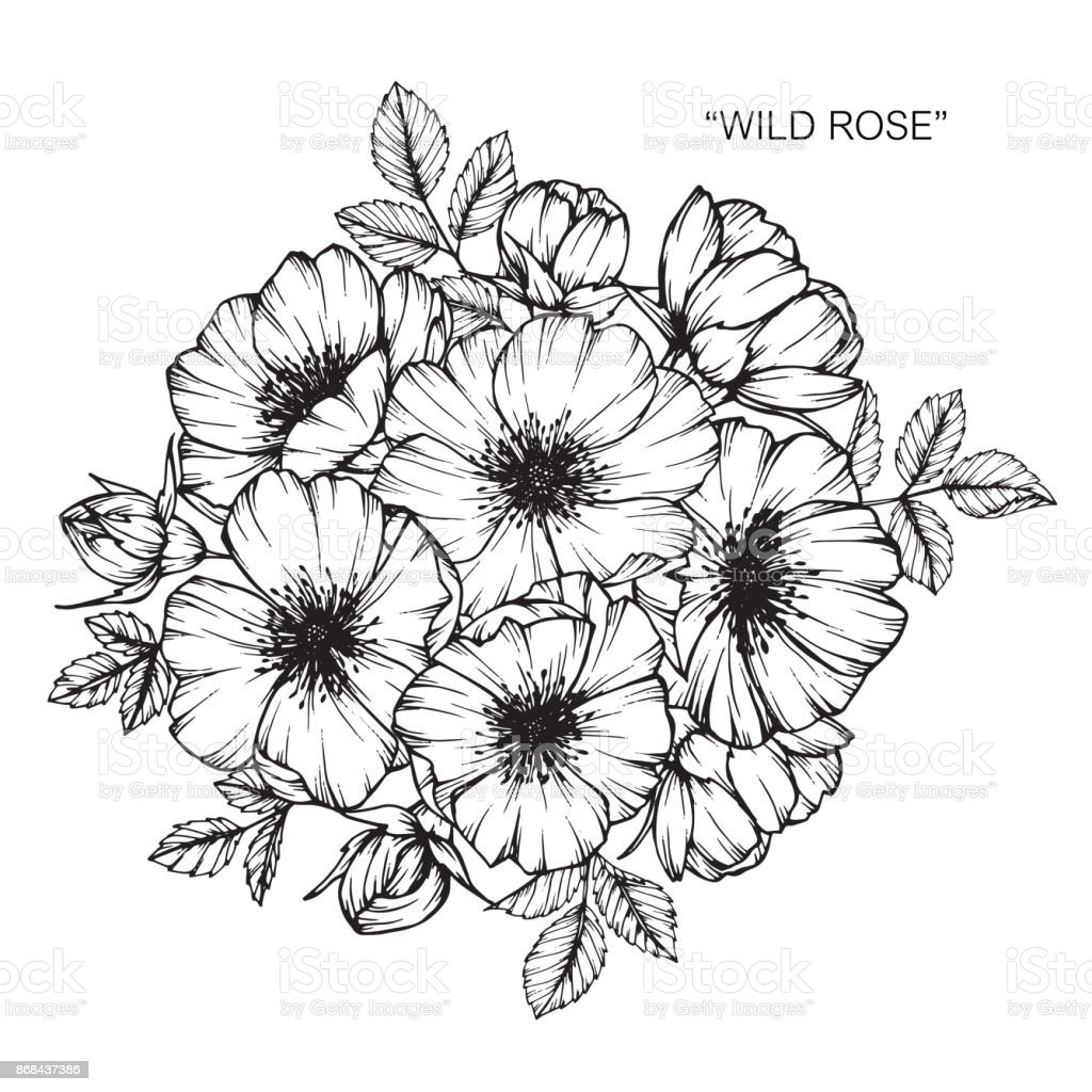 wild rose flower drawing stock vector art more images of. Black Bedroom Furniture Sets. Home Design Ideas