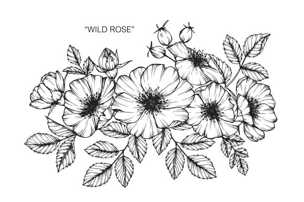 Wild rose flower drawing. Hand drawing and sketch Wild rose flower. Black and white with line art illustration. wild rose stock illustrations