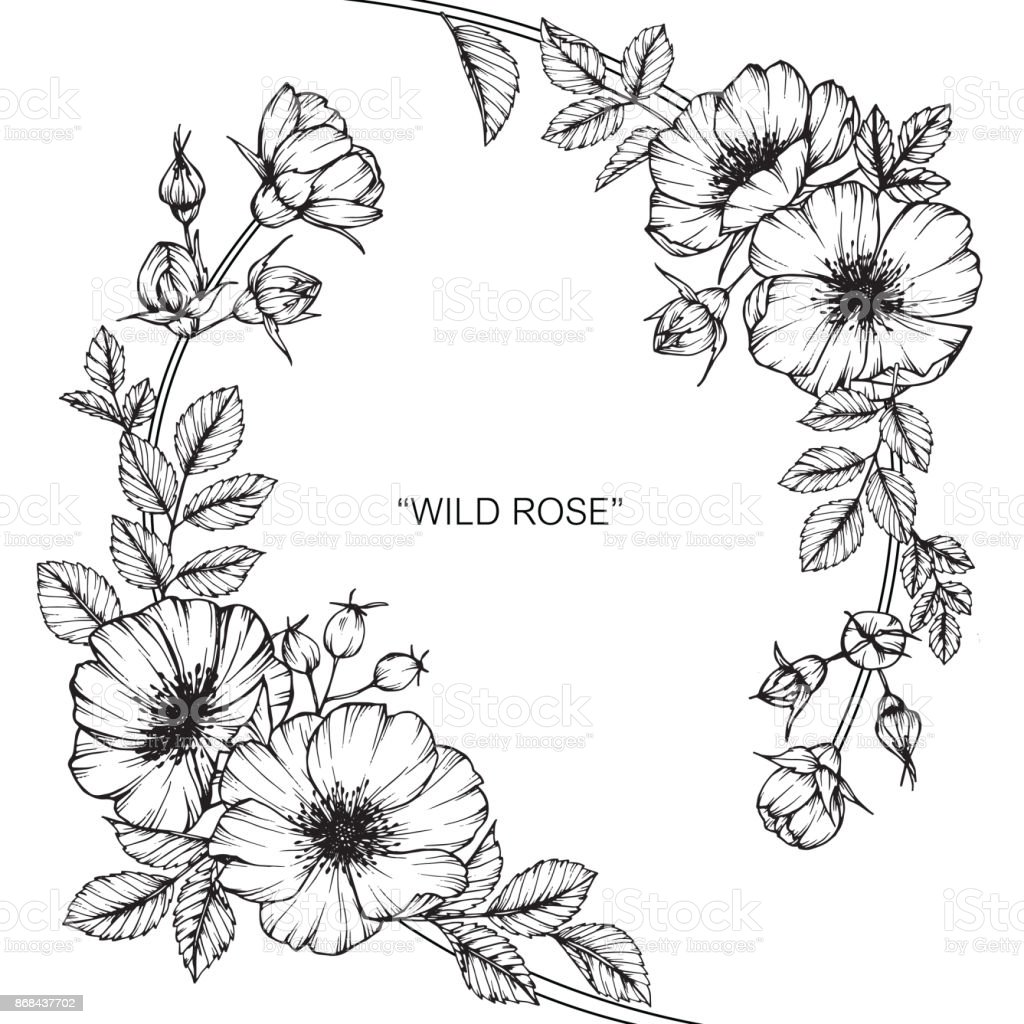 Wild Rose Flower Drawing Stock Vector Art More Images Of Art