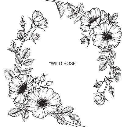 Fleur Rose Sauvage De Dessin Vecteurs libres de droits et plus d'images vectorielles de Arbre en ...