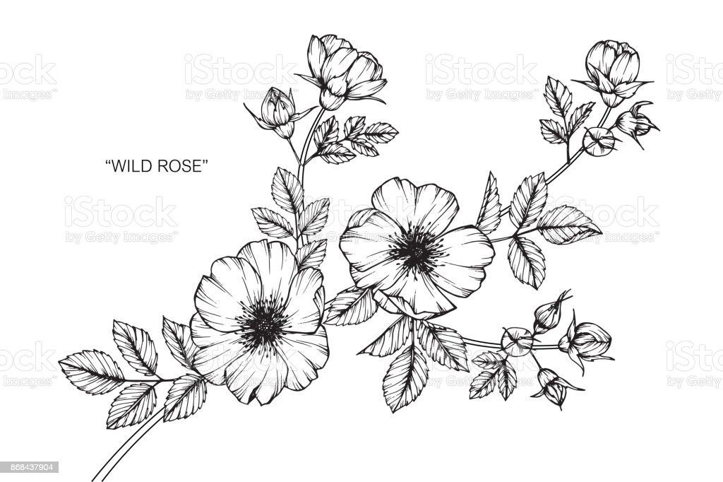 Fleur Rose Sauvage De Dessin Vecteurs Libres De Droits Et