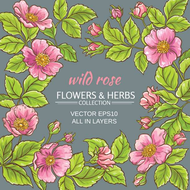 wild rose flowers frame wild rose flowers frame on color background wild rose stock illustrations