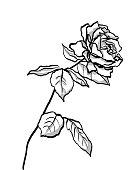 Wild Rose Full Bloom