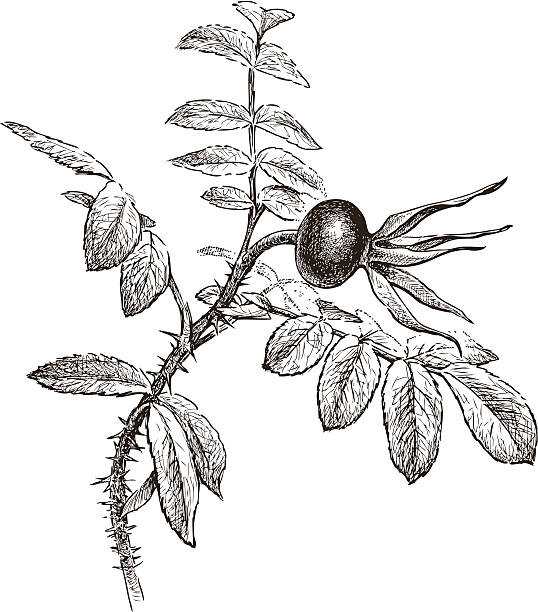 wild rose Vector drawing of a branch of a wild rose. wild rose stock illustrations