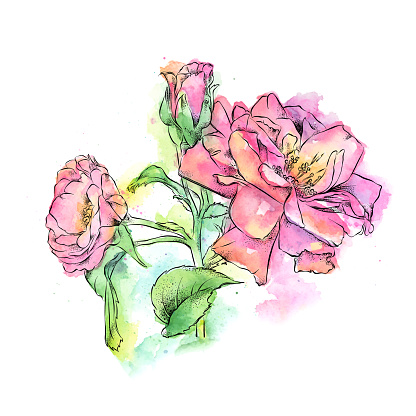Wild rose ink and watercolor illustration. Vector EPS10 Illustration.