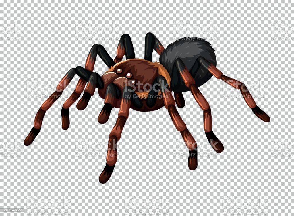 Wild spider on transparent background - Royalty-free Animal stock vector