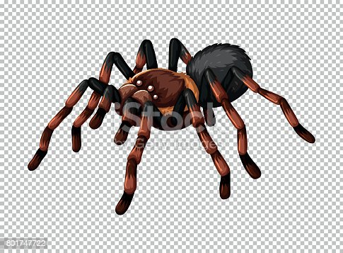 Wild spider on transparent background illustration