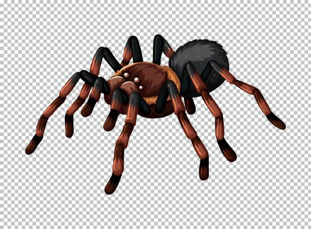 wild spider on transparent background - tarantula stock illustrations