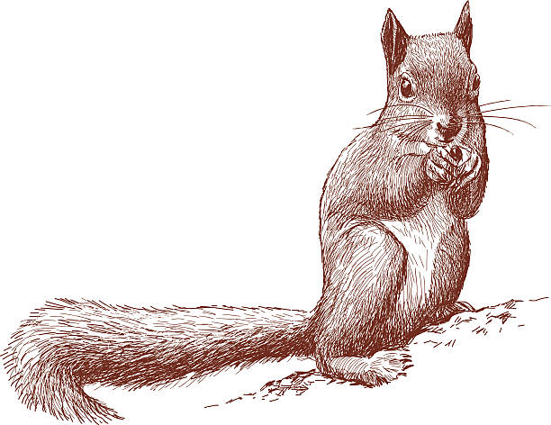 illustrations, cliparts, dessins animés et icônes de écureuil sauvage - écureui
