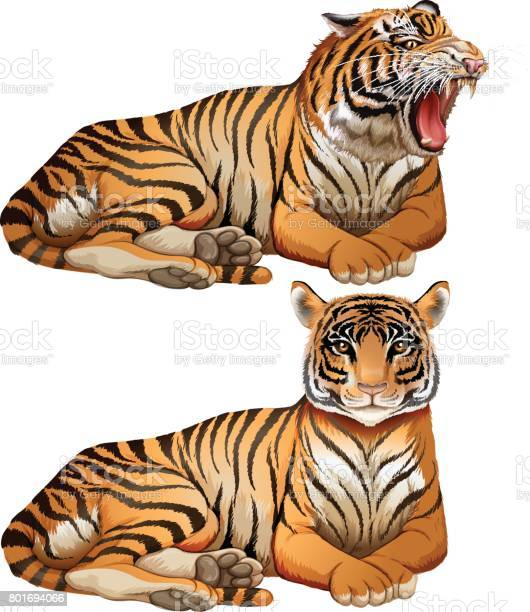 Wild tigers on white background vector id801694066?b=1&k=6&m=801694066&s=612x612&h= te1qqbeto ie3esix9mm7hu6ux9jtqzdh1oc6vwu9k=