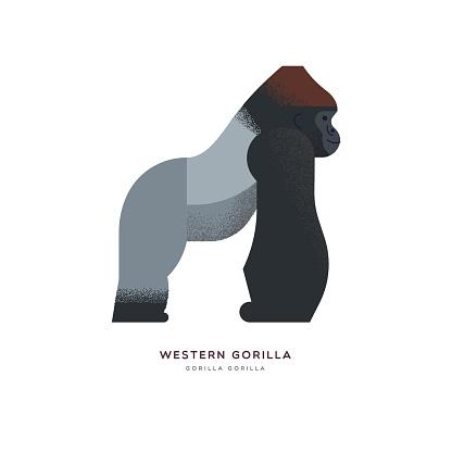 Wild Western africa gorilla zoo animal isolated