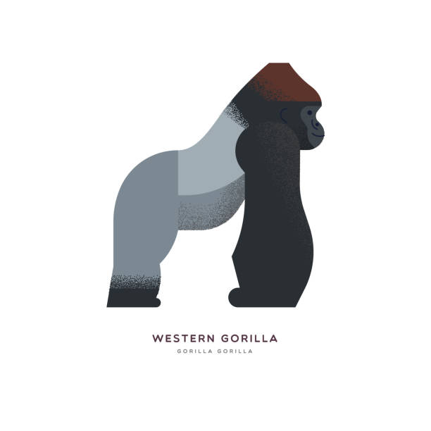 Wild Western africa gorilla zoo animal isolated Western gorilla illustration on isolated white background, african safari animal concept. Educational wildlife design with fauna species name label. gorilla stock illustrations