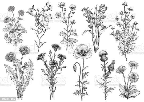 Wildflower bluebell bellflower buttercup chamomile clover cornflower vector id950577862?b=1&k=6&m=950577862&s=612x612&h=t0dfb6cfkeboxfoyl09saf5tpigsr7esuf98xqtzbdy=