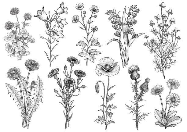 ilustrações, clipart, desenhos animados e ícones de flores silvestres, bluebell, campânula, florzinha, camomila, trevo, centáurea, dente de leão, margarida, papoula, ilustração de coleção de cardo, desenho, gravura, tinta, linha artística, vetor - papoula planta