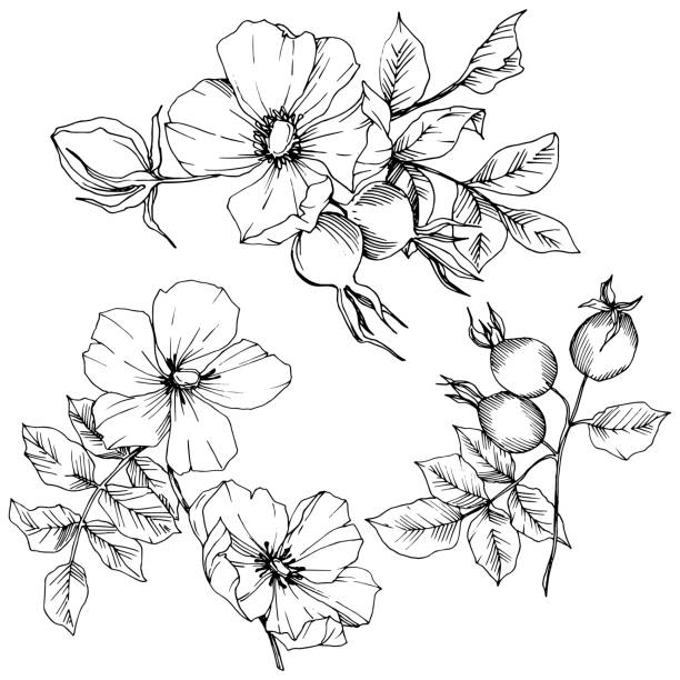 ilustrações de stock, clip art, desenhos animados e ícones de wildflower rosa canina in a vector style isolated. black and white engraved ink art. - natureza close up