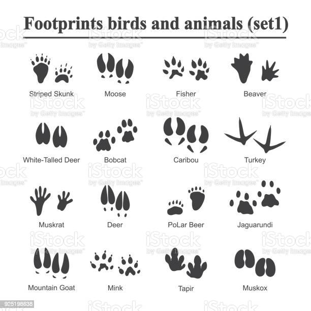 Wildlife animals and birds footprint animal paw prints vector set of vector id925198638?b=1&k=6&m=925198638&s=612x612&h=qfm2y0ra 2 rtotph3ltbfqokcrkwo5oszbhp7qcvuy=