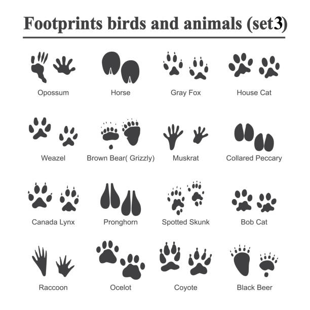 wildlife animals and birds footprint, animal paw prints vector set. footprints of variety of animals, illustration of black silhouette footprints - javelina stock illustrations