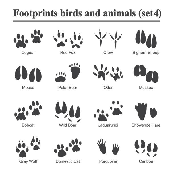wildlife animals and birds footprint, animal paw prints vector set. footprints of variety of animals, illustration of black silhouette footprints - otter stock illustrations, clip art, cartoons, & icons