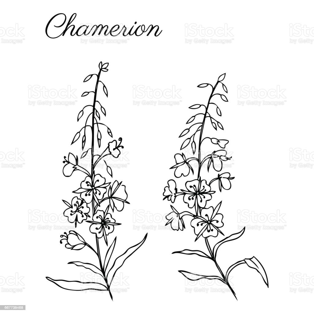 Ilustración de Sauce Hierba Chamerion Angustifolium Epilobio Adelfas ...