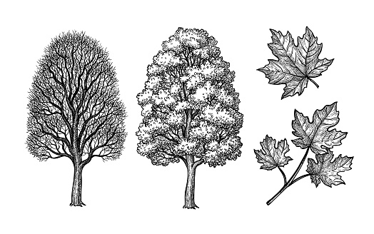 Winter and summer maple trees. Branch and leaf. Ink sketch isolated on white background. Hand drawn vector illustration. Retro style.