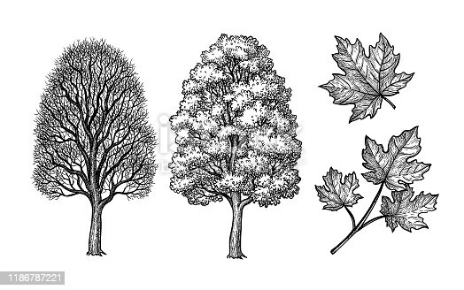istock Winter and summer maple trees. 1186787221
