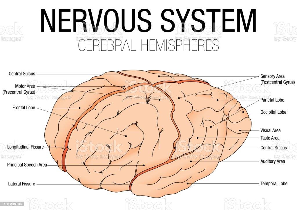 Ilustración de Sistema Nervioso Hemisferios Cerebrales Con Nombre De ...