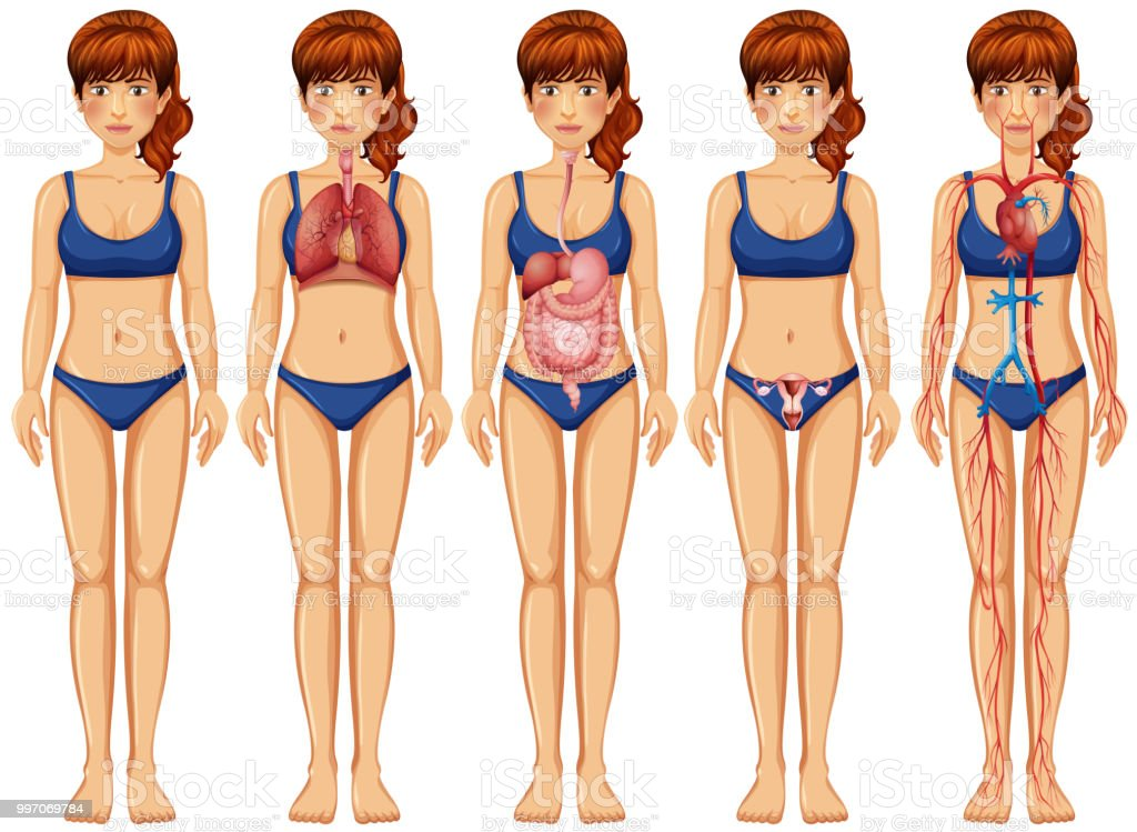A Woman Body And Anatomy Stock Vector Art More Images Of Adult