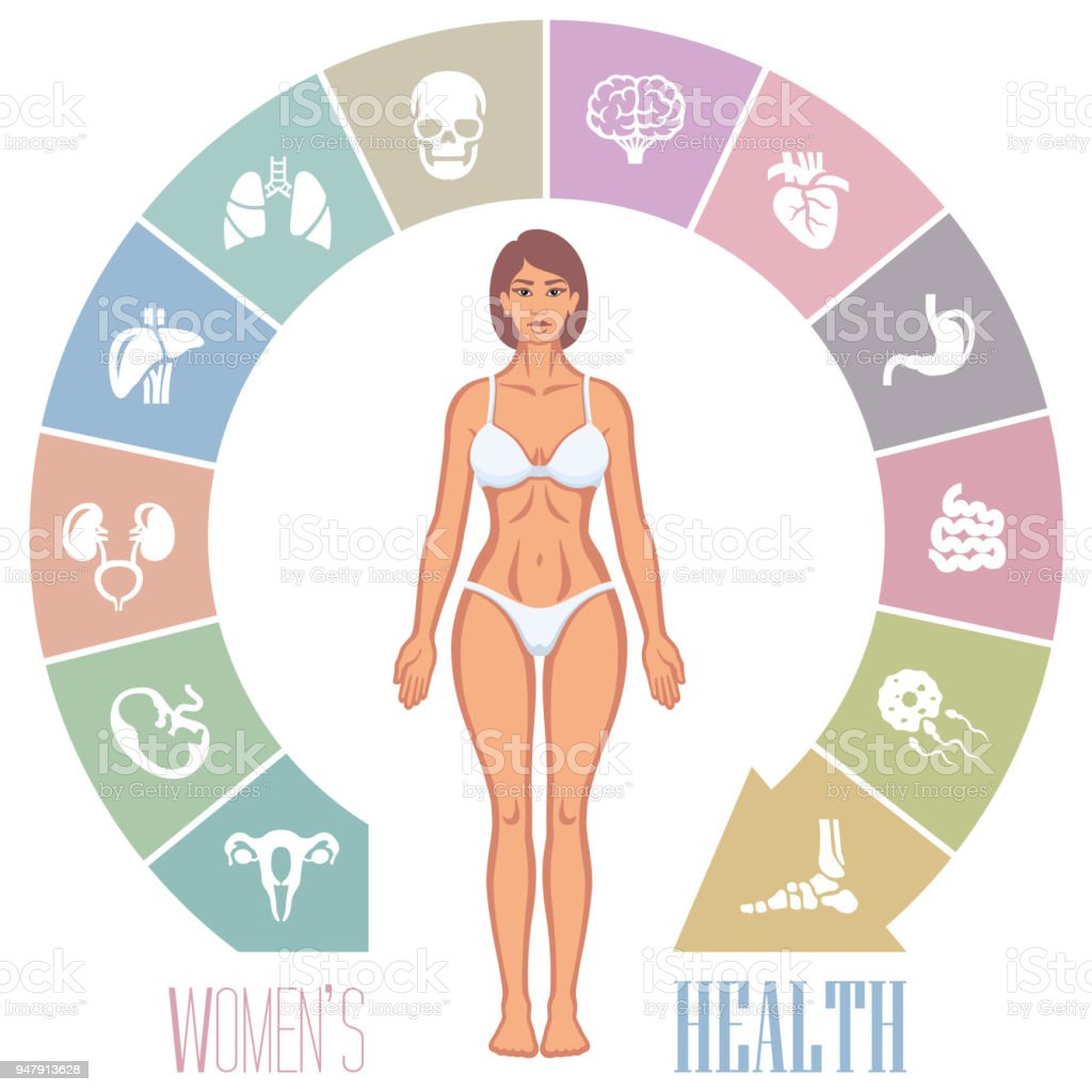 Woman Body And Internal Organs Stock Vector Art & More Images of ...