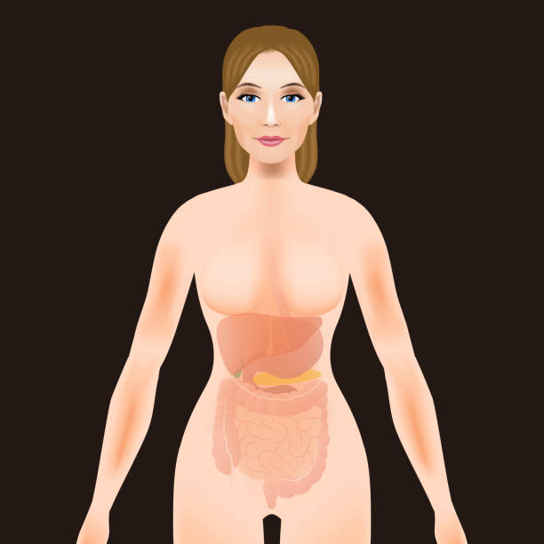 woman body silhouette digestive organs, vector illustration vector art illustration