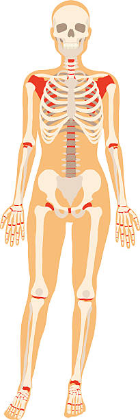 532 Humerous Bone Illustrations Royalty Free Vector Graphics Clip Art Istock Humerus, long bone of the upper limb or forelimb of land vertebrates that forms the shoulder joint above, where it articulates with a lateral depression of the shoulder blade. https www istockphoto com illustrations humerous bone