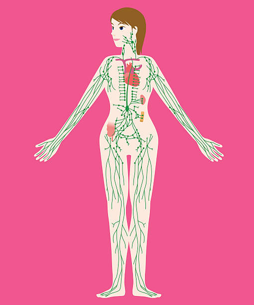 Best Lymphatic System Illustrations, Royalty-Free Vector