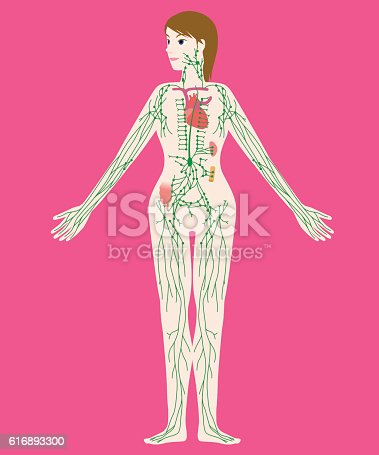 Womans Lymph System Anatomical Chart Vector Illustration Stock ...