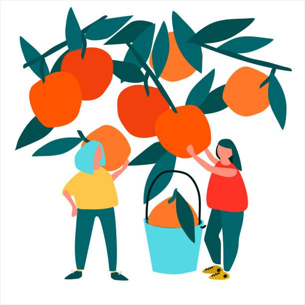ilustrações de stock, clip art, desenhos animados e ícones de women picking oranges vector illustration in abstract flat style - picking fruit
