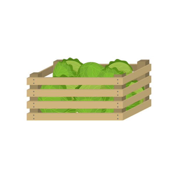 Wooden box of farm green cabbage for home storage Wooden box of farm green cabbage for home storage and market sale. Cartoon style. Vector illustration on white background crucifers stock illustrations