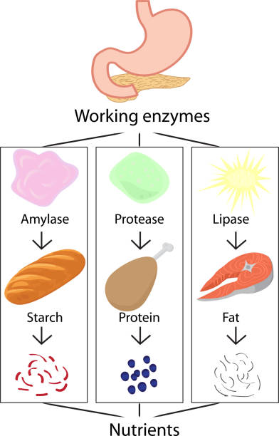 arbeit von enzymen, die verdaute nahrung in nährstoffe umwandeln - enzyme stoffwechsel stock-grafiken, -clipart, -cartoons und -symbole