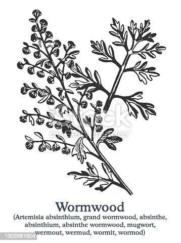 istock Wormwood. Vector hand drawn plant. Vintage medicinal plant sketch. 1303881804