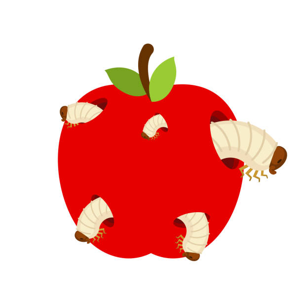wormy apple isolated. fruit and worms. vector illustration - rotten apple stock illustrations, clip art, cartoons, & icons