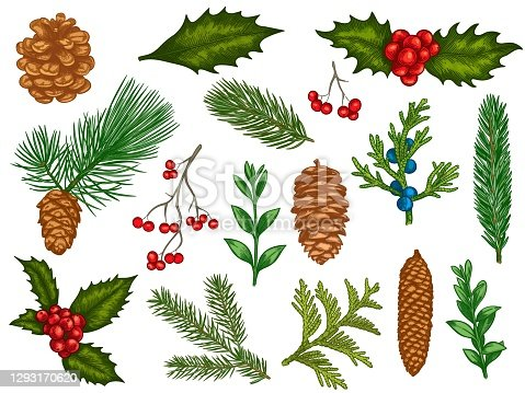 Xmas floral. Flower christmas winter decorations, red poinsettia, mistletoe, holly leaves with berries, fir branches, pine cones vector set. Engraved colorful winter plants, elements for cards