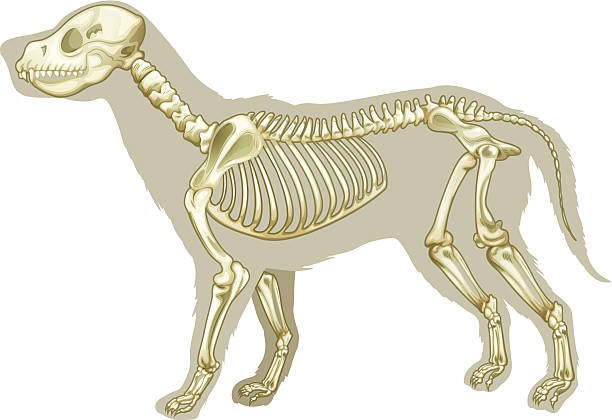 x-ray image if a skeleton of canis lupus familiaris - animal skeleton stock illustrations