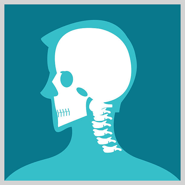 Xray of  head and neck. Xray of  head and neck, the joints and bones,human joints, skeletal spinal bone structure of Human Spine, medical health care flat vector illustration. human jaw bone stock illustrations