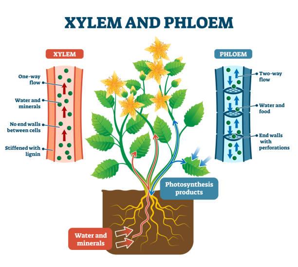 Xylem and phloem vector illustration. Labeled plant transportation scheme. vector art illustration